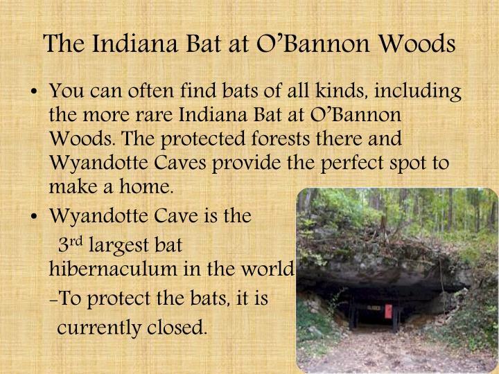 The Indiana Bat at O'Bannon Woods