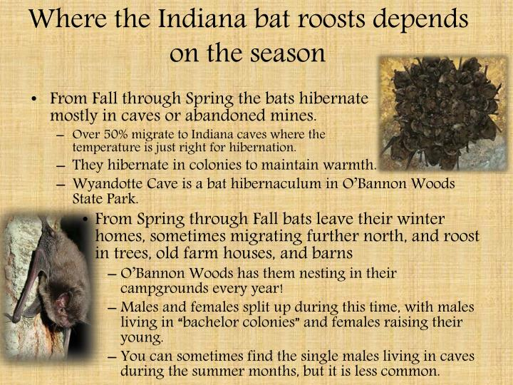 Where the Indiana bat roosts depends on the season