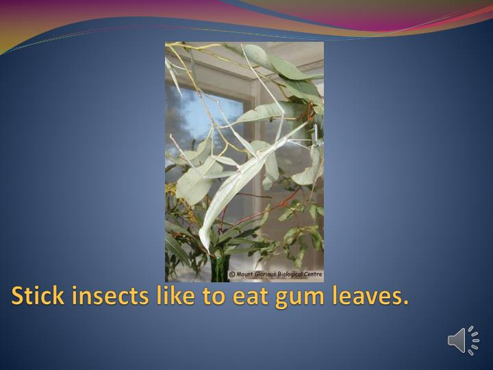 Stick insects like to eat gum leaves.
