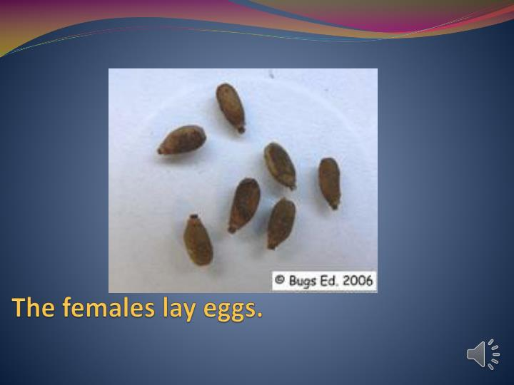 The females lay eggs.