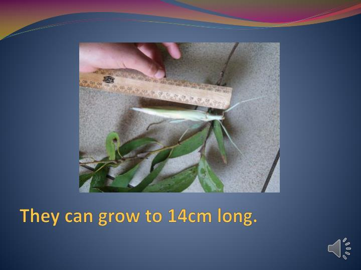 They can grow to 14cm long