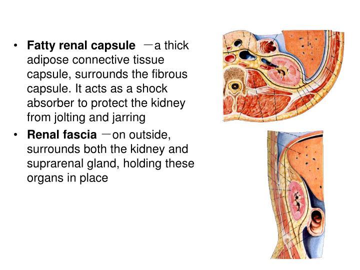 Fatty renal capsule