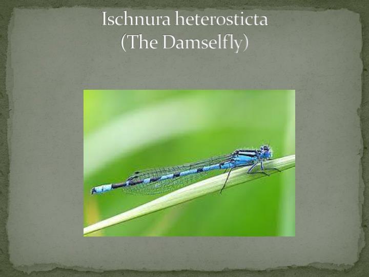 Ischnura heterosticta