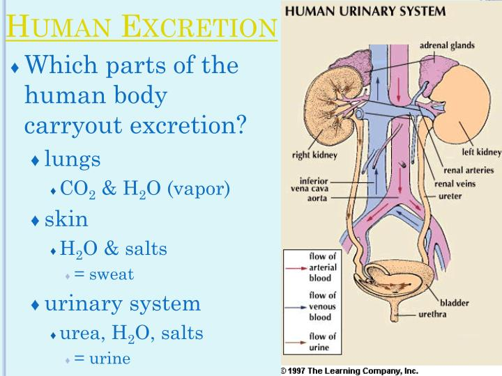 Which parts of the human body carryout excretion?