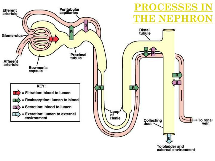 PROCESSES IN THE NEPHRON