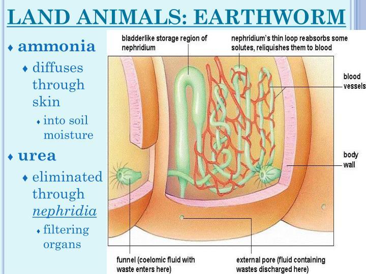LAND ANIMALS: EARTHWORM