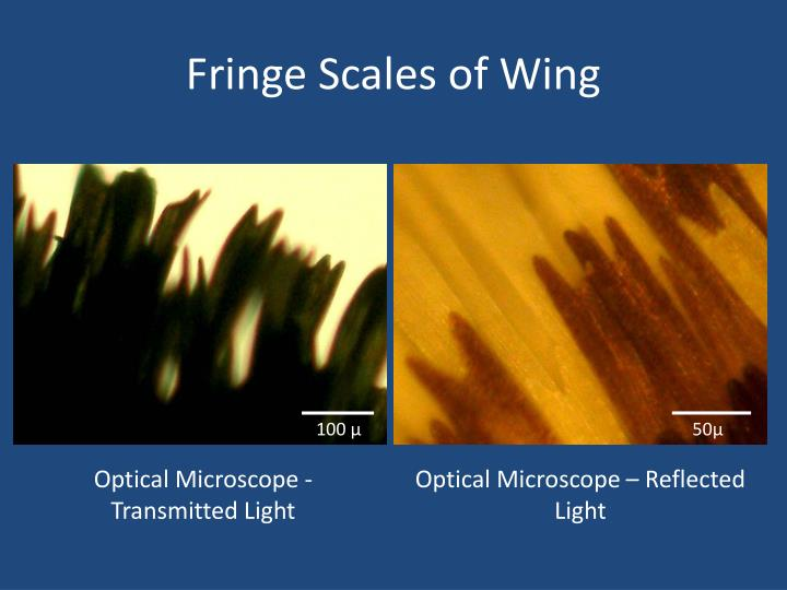 Fringe Scales of Wing