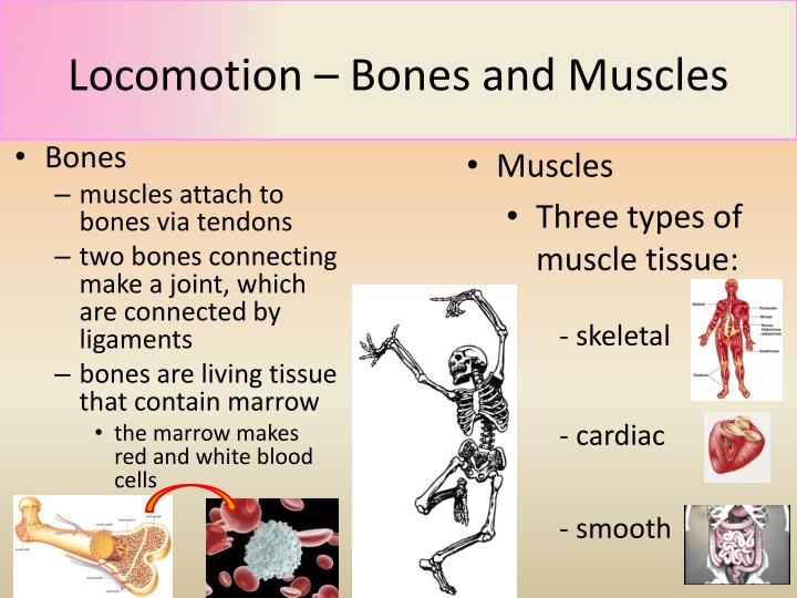 Locomotion bones and muscles