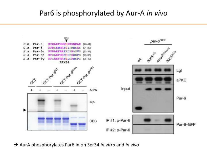 Par6 is phosphorylated by Aur-A