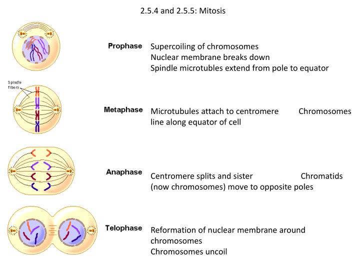 2.5.4 and 2.5.5: Mitosis