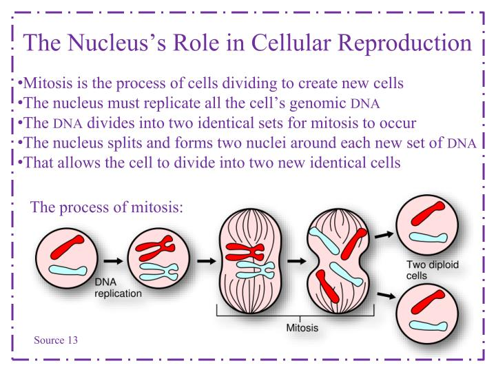 The Nucleus's Role in Cellular Reproduction