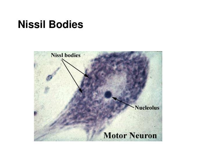 Nissil Bodies