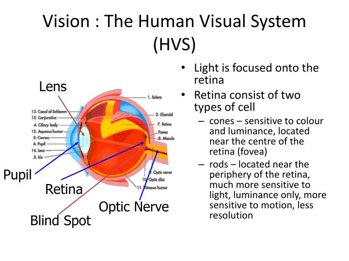 Vision : The Human Visual System (HVS)
