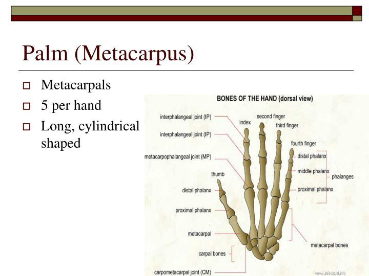 Palm (Metacarpus)