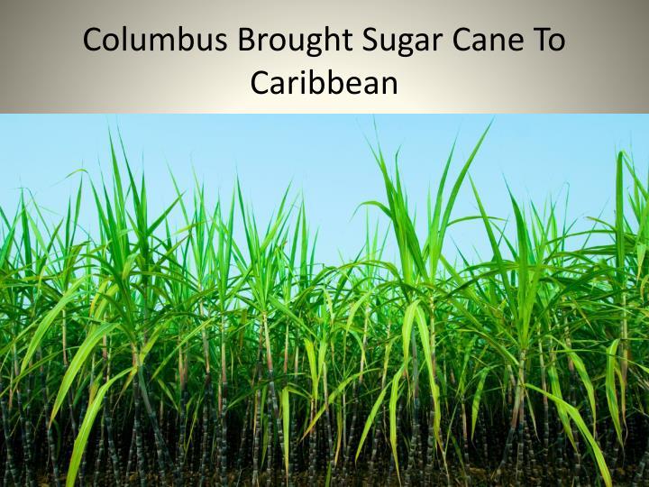 Columbus Brought Sugar Cane To Caribbean