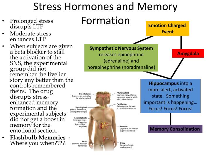 Stress Hormones and Memory Formation