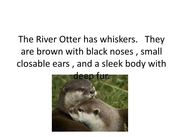 The River Otter has whiskers.   They are brown with black noses , small closable ears , and a sleek body with deep fur.