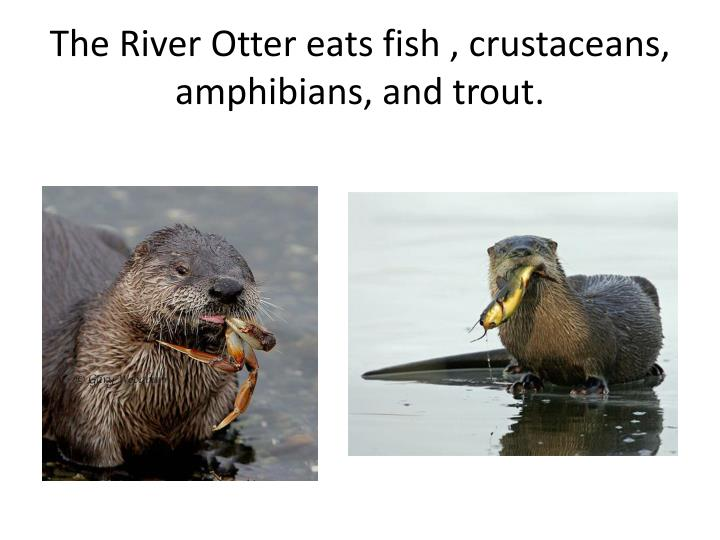 The River Otter eats fish , crustaceans, amphibians, and trout.