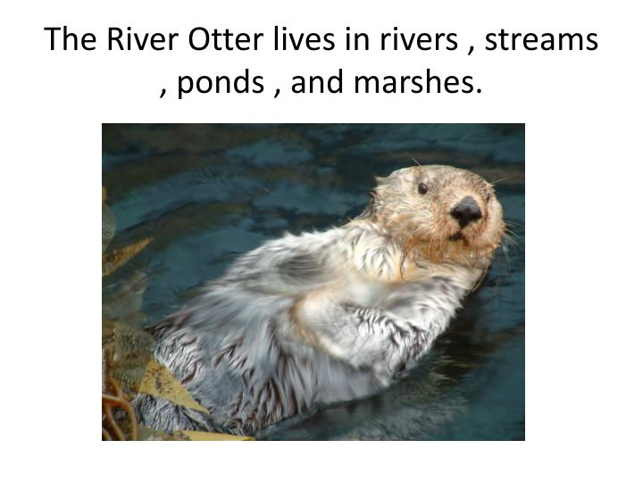 The River Otter lives in rivers , streams , ponds , and marshes.
