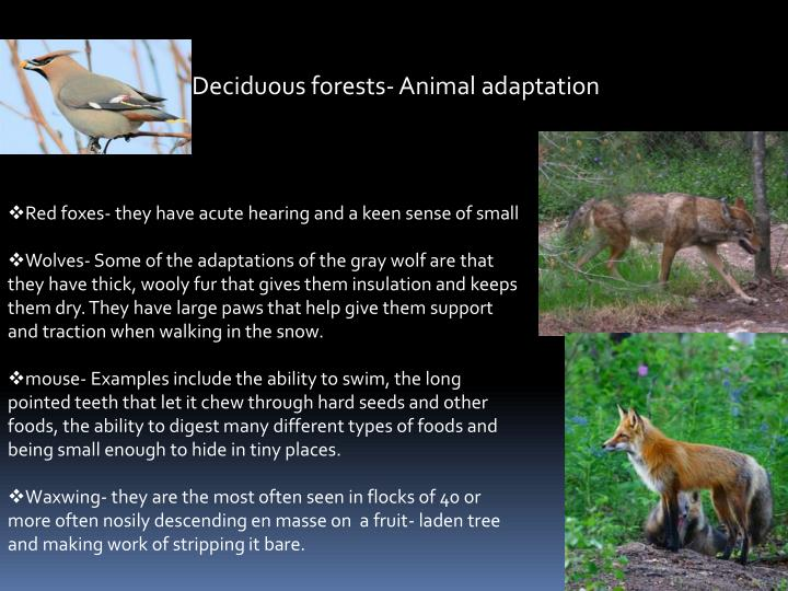 Deciduous forests- Animal adaptation