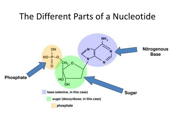 The different parts of a nucleotide