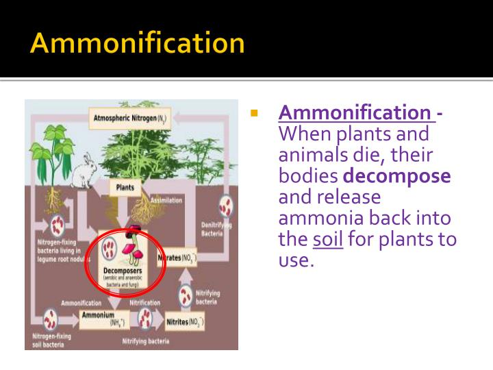 Ammonification