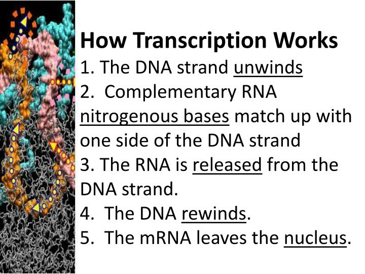 How Transcription Works