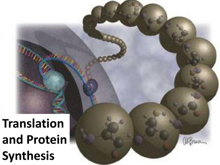 Translation and Protein Synthesis