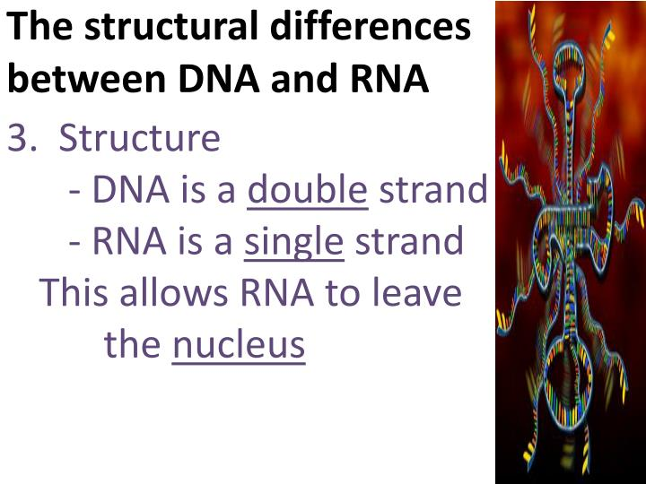 The structural differences between DNA and RNA