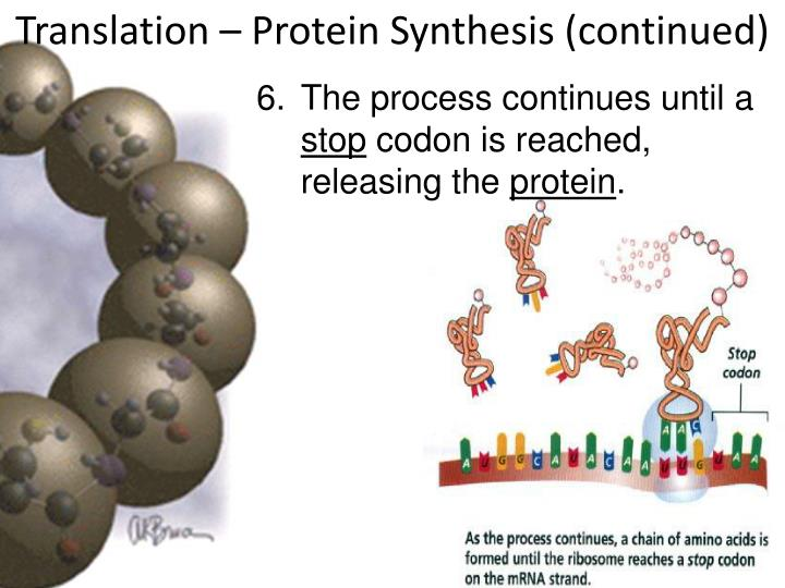 Translation – Protein Synthesis (continued)