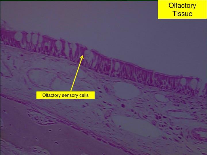 Olfactory Tissue