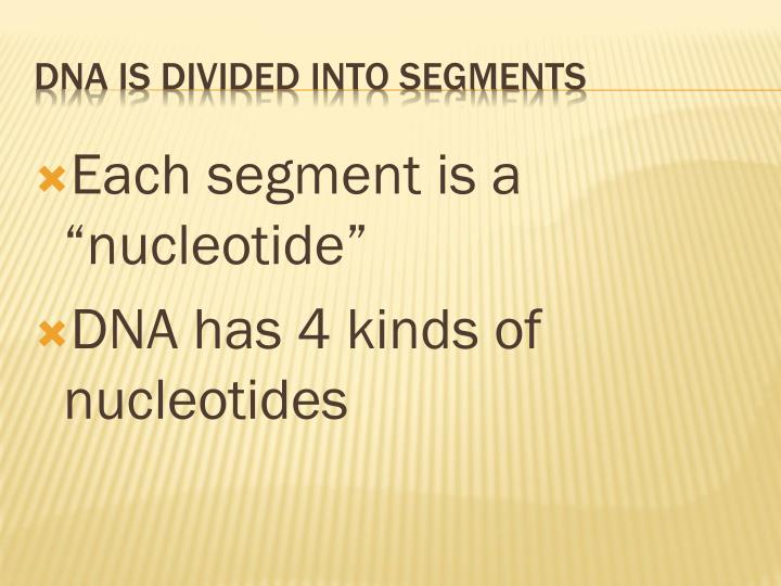 """Each segment is a """"nucleotide"""""""