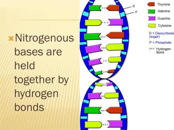 Nitrogenous bases are held together by hydrogen bonds