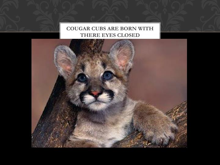 Cougar cubs are born with there eyes closed