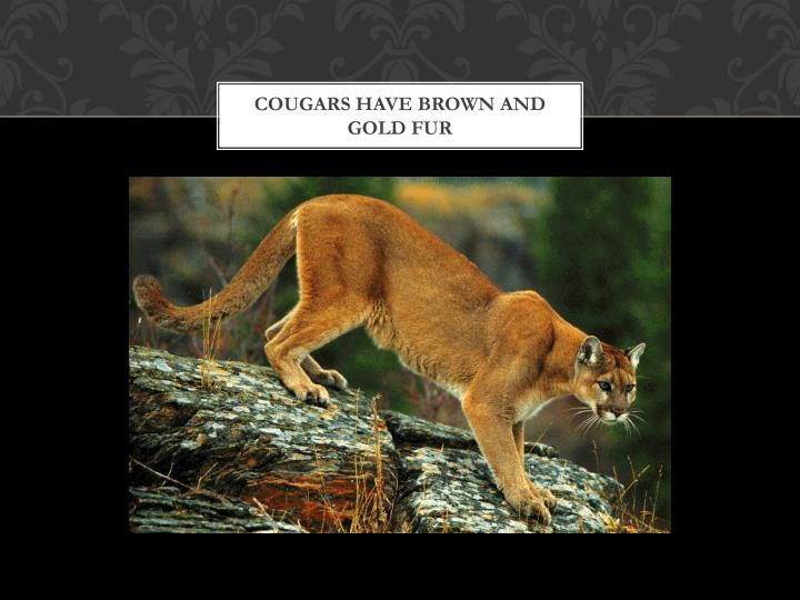 Cougars have brown and gold fur
