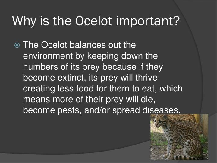 Why is the Ocelot important?