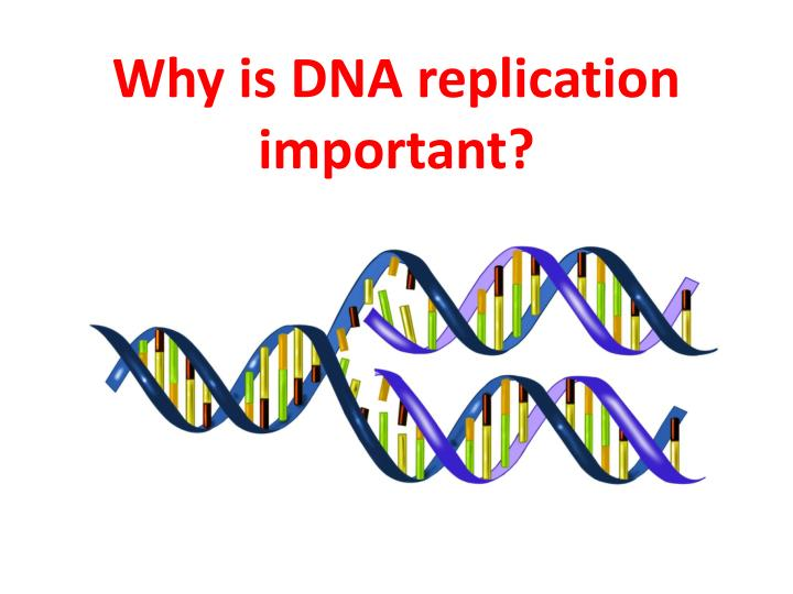 Why is DNA replication important?