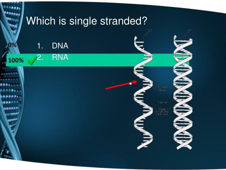 Which is single stranded?
