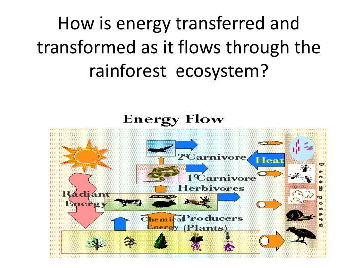 How is energy transferred and transformed as it flows through the rainforest  ecosystem?