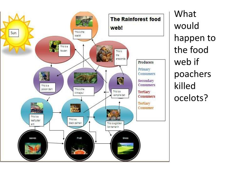 What would happen to the food web if poachers killed ocelots?