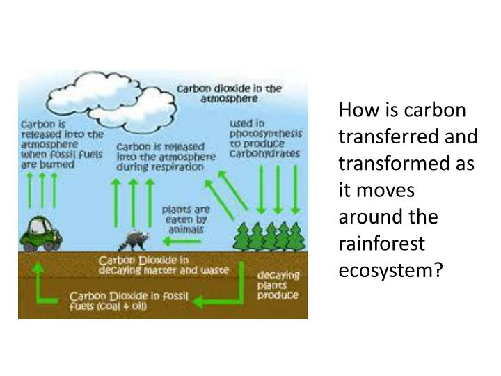 How is carbon transferred and transformed as it moves around the rainforest ecosystem?