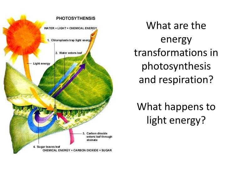 What are the energy transformations in photosynthesis and respiration?