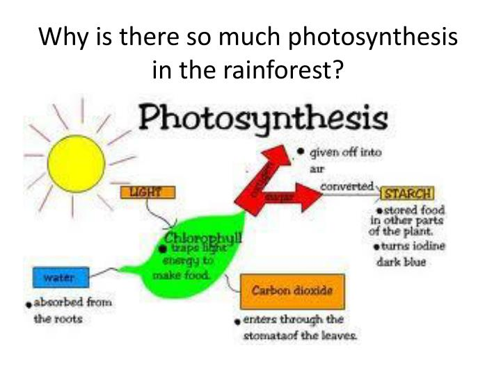 Why is there so much photosynthesis in the rainforest?
