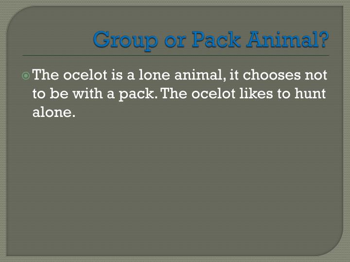 Group or Pack Animal?