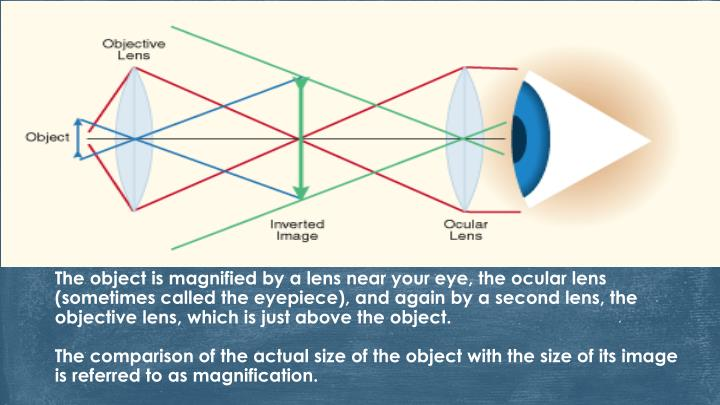 The object is magnified by a lens near your eye, the ocular lens (sometimes called the eyepiece), and again by a second lens, the objective lens, which is just