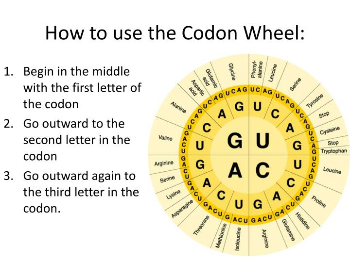 How to use the Codon Wheel:
