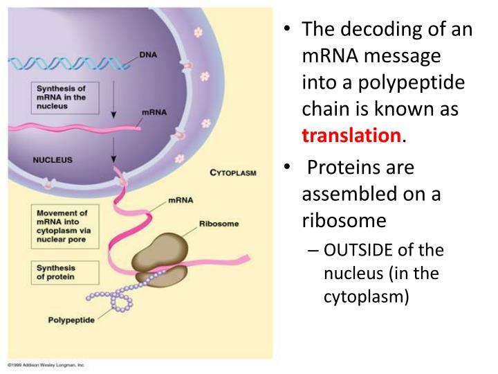 The decoding of an mRNA message into a polypeptide chain is known as