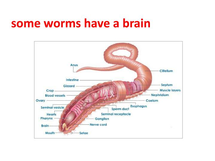 some worms have a brain