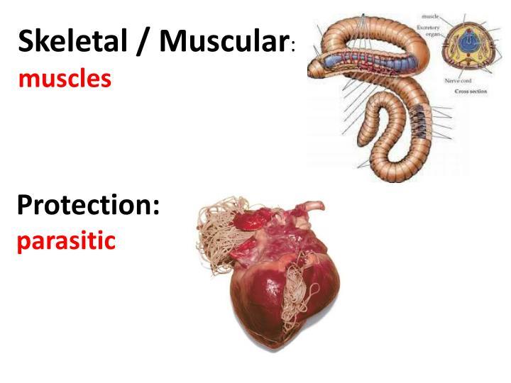 Skeletal / Muscular