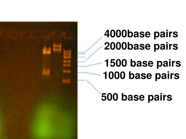 4000base pairs